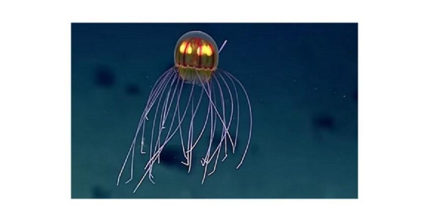 La medusa más extraña del océano